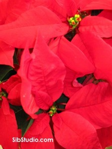 SibStudio Red Poinsettia