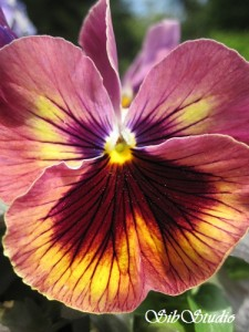 beautiful pansy at sibstudio dot com