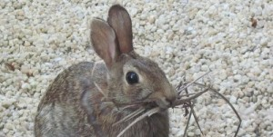 Rabbit with dried grass for nesting