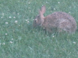 One of the rabbits living in the yard