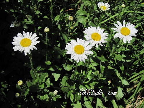More Daisies by SibStudio