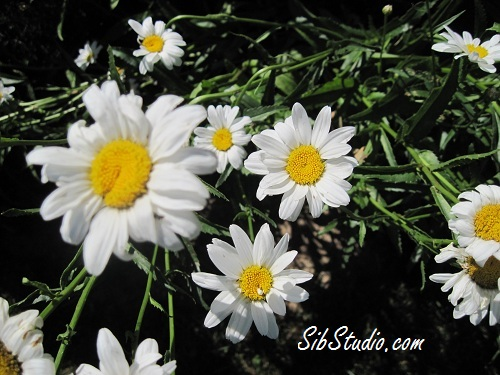 Daisies by SibStudio