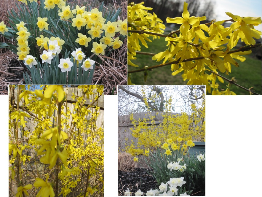 Forsythia and Daffodils in Bloom