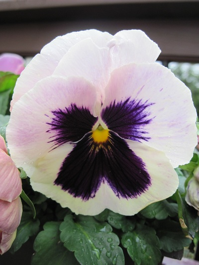 White pansy