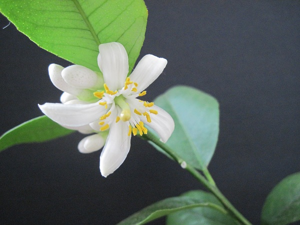 Meyers lemon flower
