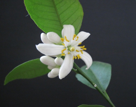Meyer's lemon flower