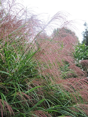 Miscanthus in the morning